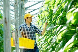harvesting fruits
